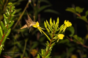 Sphinx Moth at Dusk 2