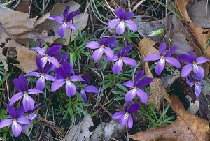 Bird's-foot Violets at Shawnee State Park in Scioto County, Ohio