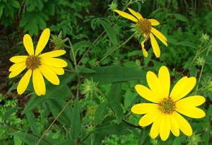 paleleaf_woodland_sunflower