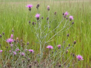 spottedknapweed