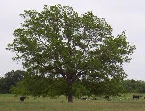 native-pecan-tree