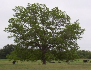 native-pecan-tree