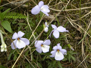 bird-foot violet