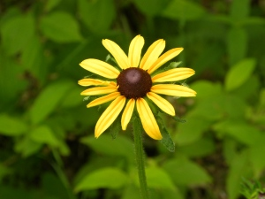 black-eyed Susan 05:30