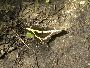 black giant swallowtail A
