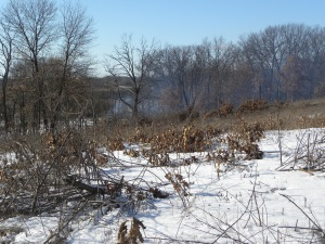 burning buckthorn A