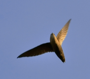 Chimney_swift_overhead