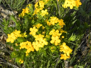 Hoary Puccoon 05:19