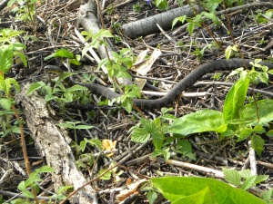 northern water snake 04:14:12