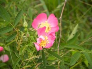 prairie rose 05:30