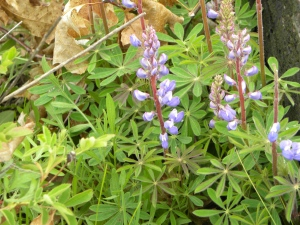 Scuppernong lupine 05:07