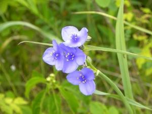 spiderwort 05:30 A