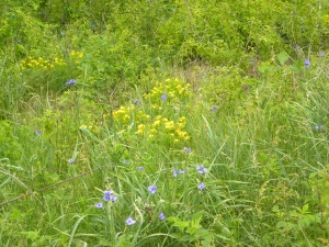 spiderwort & hoary puccoon 05:30