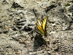 tiger swallowtail 05:11