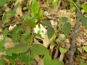 white pea:pale vetchling 05:07
