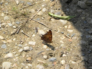 anglewing butterfly 06:24