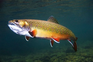 Brook-Trout-Pictures
