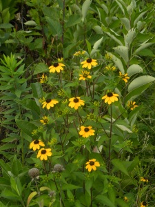 browneyed susans 07:31 A