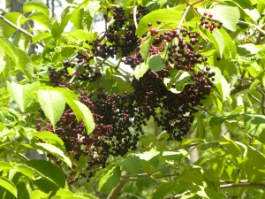 elderberries 08:28:12