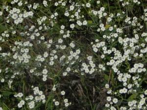 flowering spurge 07:31 A