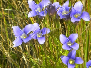 fringed gentians 08:28:12 A
