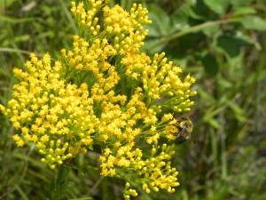goldenrod & bee 08:28:12