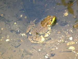 green frog 06:15 A