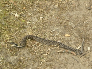 hognose snake 07:09