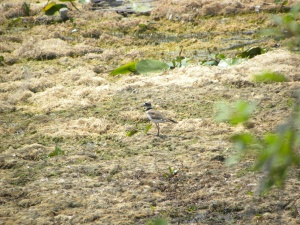 killdeer 07:01 B