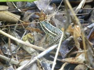 leopard frog 07:31