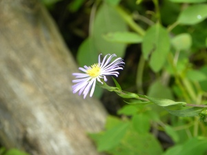 light purple aster 08:28:12