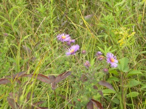 new england aster 08:28:12