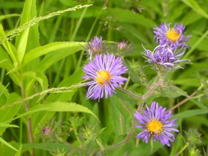 new england asters 06:24