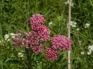 prairie swamp milkweed 07:14