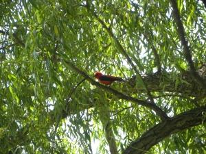 scarlet tanager 06:24 B