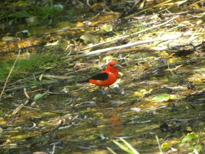 scarlet tanager A 06:26