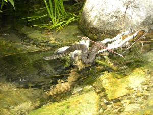 water snake hunting from log 07:01