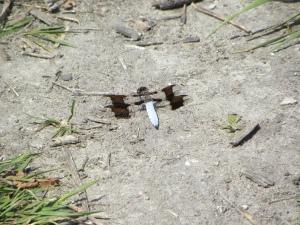 white dragonfly 06:02