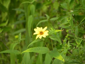 woodland sunflower 07:14 A